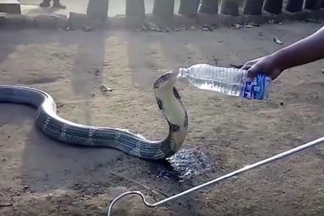 serpente beve