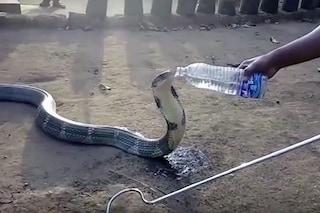 I serpenti bevono acqua? Questo cobra mortale sì e pure dalla bottiglia: ecco il video