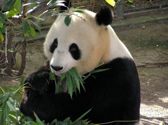 Un panda col suo 'piatto' preferito