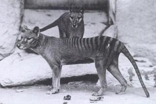 Clonare e riportare in vita la tigre della Tasmania estinta: l'obiettivo australiano