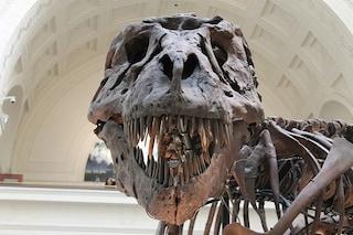 La lingua del Tyrannosaurus Rex era cortissima e salda dentro il palato