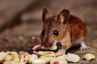 Insieme ai cani, ma prima dei gatti: cosa dice di noi la domesticazione del topo