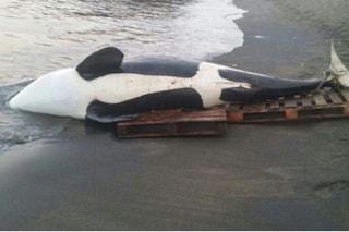Due orche massacrate dai pescatori, turisti sotto choc: stop alla caccia nel Pacifico