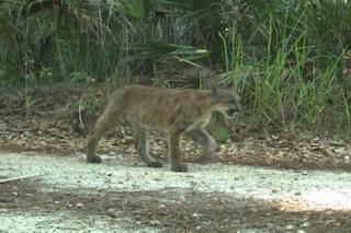 Buone notizie per la rara pantera della Florida: avvistati due cuccioli. Ecco le immagini