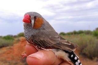 Scoperto come gli uccelli imparano a 'cantare'