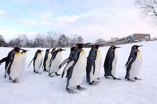 Overdose di pinguini, oggi è la loro giornata: 5 cose da sapere su questi uccelli in frac