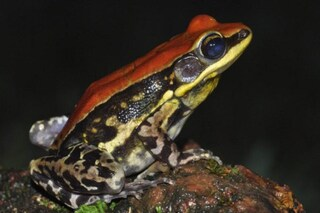 Sconfiggeremo l'influenza con il muco di queste rane? Come funziona la molecola 'urumina'