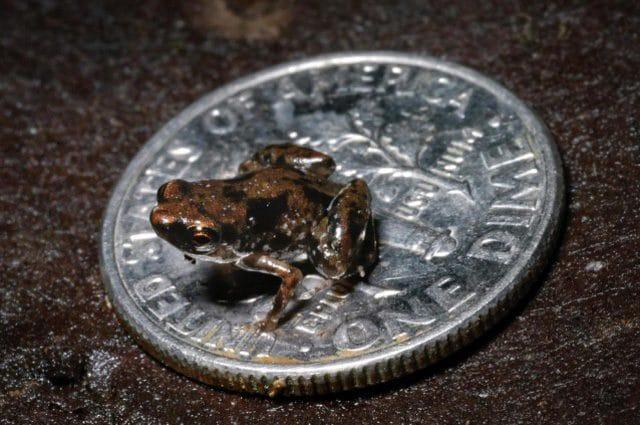 Paedophryne amauensis, la rana più piccola del mondo misura solo 7,7 millimetri: credit Rittmeyer EN