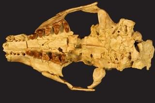 Scoperta una nuova specie di carnivoro estinto: i fossili hanno 34 milioni di anni