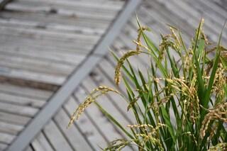 Create piante di riso transgeniche che resistono alla siccità