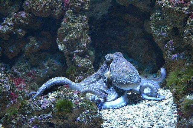 I polpi e i calamari nascondono un 'super potere' genetico che li rende molto intelligenti