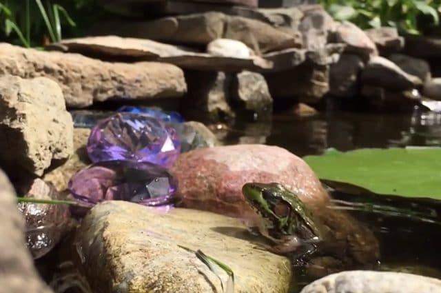 Una rana che ha appena divorato un grillo: credit FlyingYankee59