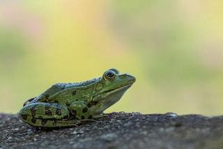 5 cose assurde sulle rane che ti faranno impazzire per questi anfibi che saltano