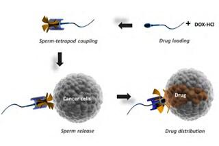 """Spermatozoi usati come arma: così li lanceremo come """"bombe"""" contro i tumori vaginali"""