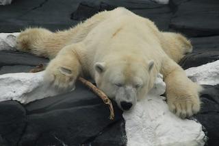 Szenja è morta di solitudine: l'orsa polare era stata separata dalla sua migliore amica