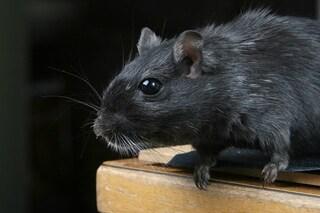 I topi infetti possono trasmetterci malattie attraverso morsi, urina e feci: ecco quali