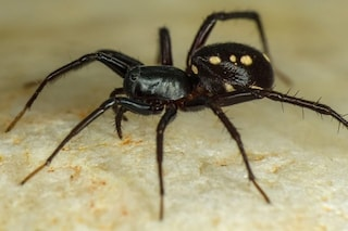 Scoperte 50 nuove specie di ragno in Australia: alcune sono grandi come piatti