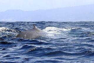 Le balene sono diventate gigantesche in tempi recenti, spinte dai cambiamenti climatici