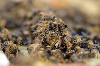 Api, vespe e calabroni: cosa fare in caso di puntura e come ridurre i rischi