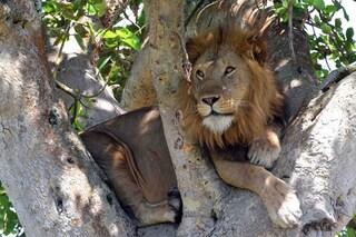 I leoni dell'Uganda che si arrampicano sugli alberi stanno morendo di fame