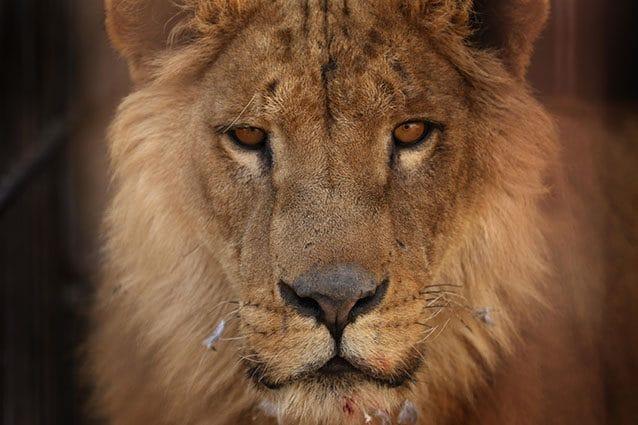 Leone, il re della savana (Getty).