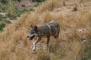 Il lupo italiano è una sottospecie unica al mondo sin dai tempi dell'ultima glaciazione