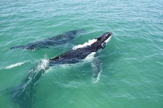 Si 'sussurrano' per sfuggire ai predatori: il linguaggio segreto delle balene e dei piccoli