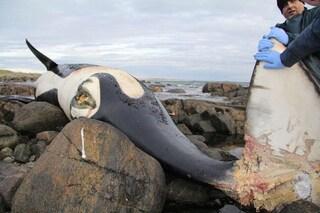 L'animale più contaminato del pianeta è un'orca: choc per i risultati dell'autopsia