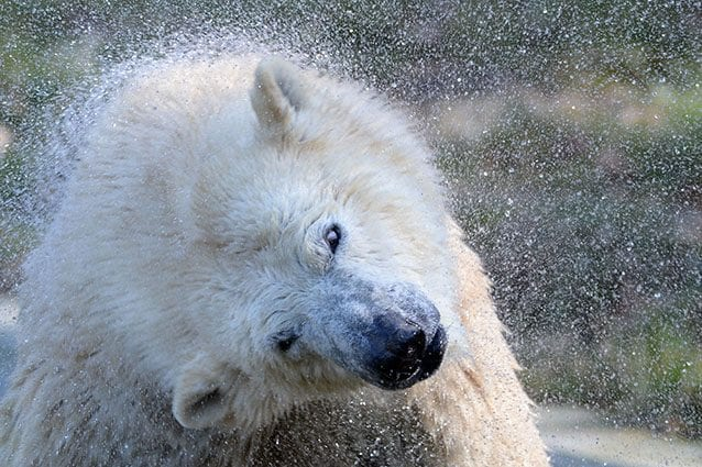 Orso polare (Getty).