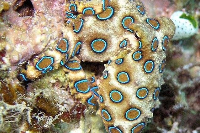 Polpo ad anelli blu o Hapalochlaena lunulata (Wikipedia).