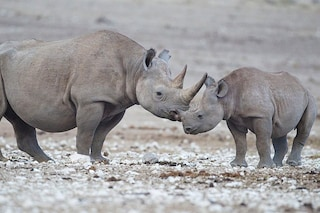 Dopo 10 anni il rinoceronte nero torna in Ruanda: era stato sterminato dai bracconieri