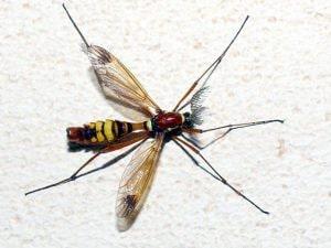 Esemplare adulto di zanzara grande (Wikipedia).