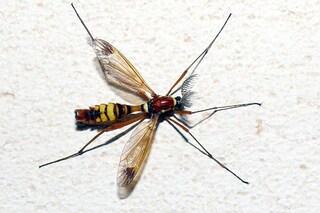 La zanzara grande non punge l'uomo: ecco perché