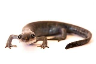 La salamandra Ambystoma ha tre padri di specie diverse e un DNA unico al mondo
