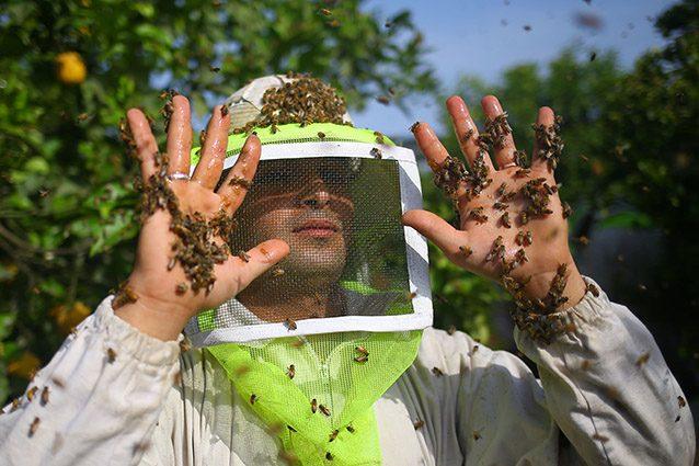 Apicoltore alle prese con uno sciame d'api (Getty).