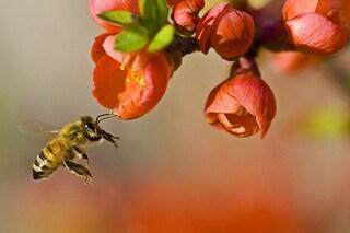 Cosa fare in caso di puntura d'ape: prevenzione, sintomi e rimedi naturali