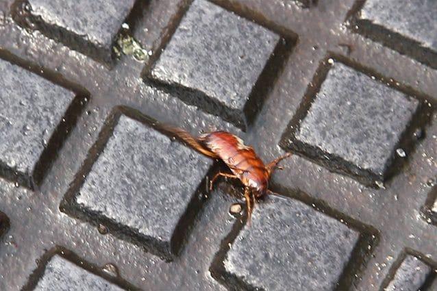 Le blatte sono tornate come prevenire l invasione ed eliminarle