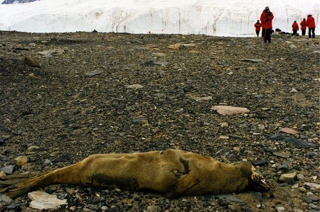 La carcassa mummificata di una foca, che si è avventurata nelle valli: credit wikipedia