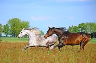 Cavalli arabi e turcomanni: le origini orientali degli stalloni moderni