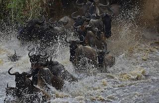 6.250 gnu muoiono ogni anno: perché la strage del Serengeti è fondamentale per l'ecosistema