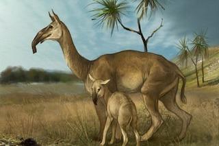 Svelato l'enigma che mise Darwin in crisi: chi è il Macrauchenia