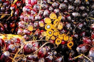 Olio di palma, produrlo senza danneggiare l'ambiente è possibile grazie ai computer