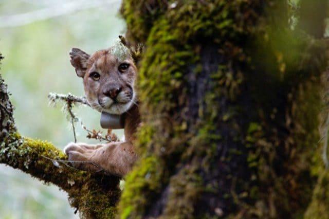 Uno dei puma monitorati dai ricercatori dell'UCSC: credit UCSC
