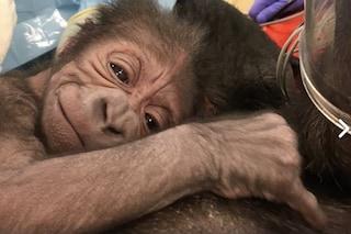 Medici per 'umani' e veterinari insieme per far nascere un cucciolo di gorilla: ora sta bene