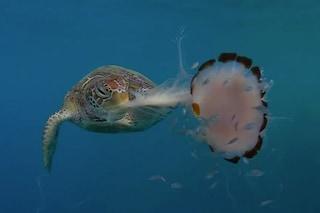 La tartaruga che mangia una medusa come fosse un piatto di noodle