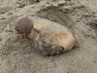 La verità sul mostro spiaggiato in California che somiglia ad una cozza gigante