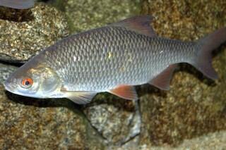 Pesci transgender a causa della pillola anticoncezionale: gli effetti dei nostri scarichi