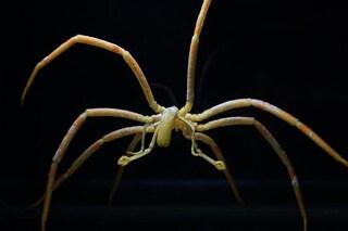I ragni di mare respirano con l'intestino: chi sono e perché