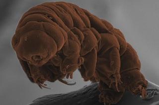 """L'incredibile resistenza dei tardigradi: novità sui """"super poteri"""" degli orsi d'acqua"""