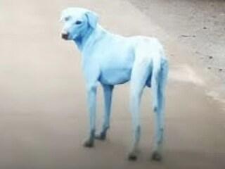 Cani blu in India, ecco cosa è successo realmente